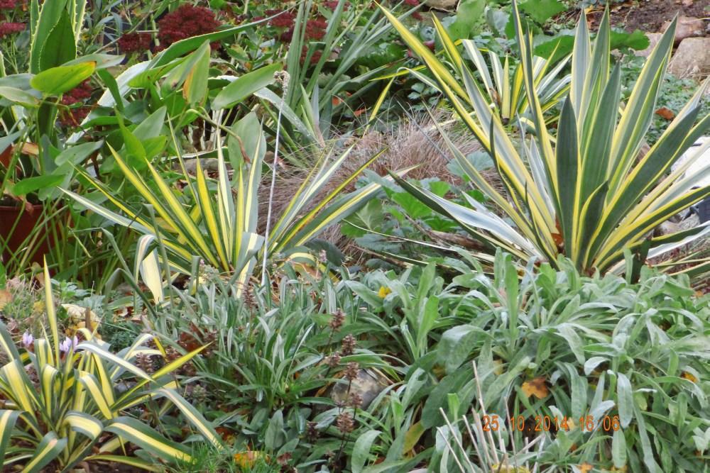 yuccas agaven palmen und andere exoten im garten unser garten. Black Bedroom Furniture Sets. Home Design Ideas